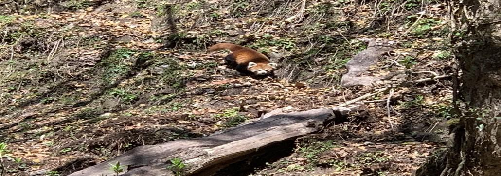 Glimpse of Red Panda : Sagarmatha National Park